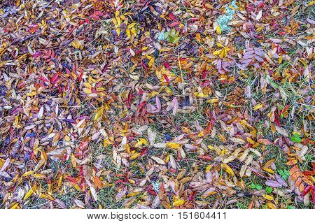 Top down view of the colorful leaves grass and lichen of a forest floor in Autumn ideal for background use