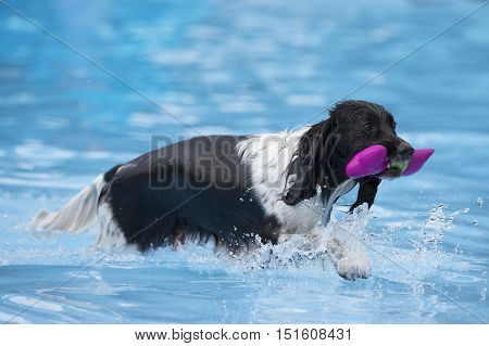 Dog with toy in swimming pool blue water