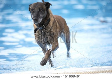 Dogm Belgian Shepherd Malinois coming out of a swimming pool blue water