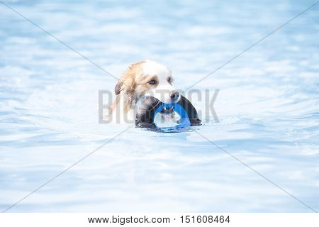 Dog Border Collie swimming and holding a toy blue water