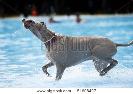 Dog Weimaraner in swimming pool shaking waterdrops