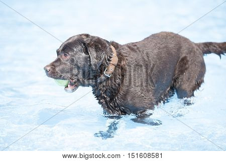 Dog brown Labrador Retriever with tennis ball in swimming pool blue water