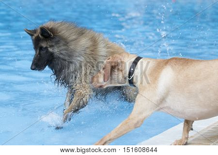 Two dogs running in swimming pool blue water