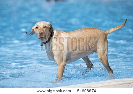 dog Labrador retriever staning in swimming pool blue water