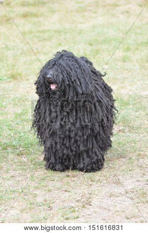 Thick black curls on a puli dog.