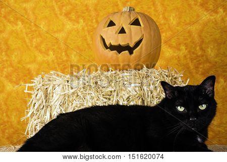 large black cat with jack-o-lantern on bale of straw with orange background