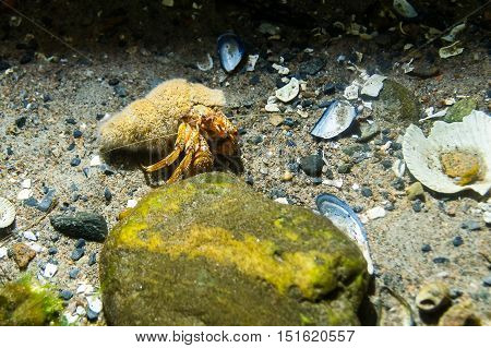 An hermit crab in its shell crawling on the gravel bottom in the sea passing by an rock covered in algea.