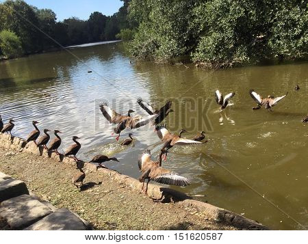Flock Of  Black-bellied Whistling Ducks In Audubon Park