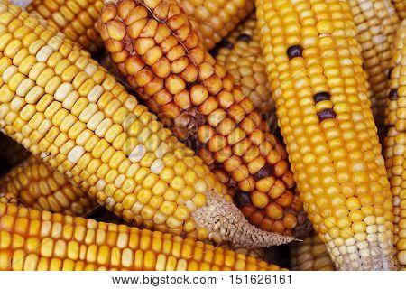 Ripe corn close up, food bright background