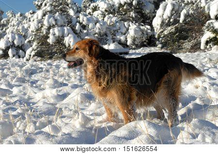 Australian Shepherd Enjoys Snow