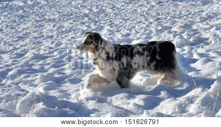 Austrailian Shepherd stands alert with one paw frozen off the ground. He is surrounded by snow in a New Mexico field.