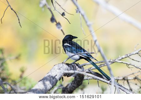 The Black-billed Magpie sits in the tree