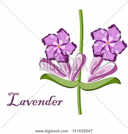 Bunch of lavender flowers violet blossom garden aromatic bloom. Aroma, perfume nature lavender purple flower bouquet. Natural floral herbal bunch lavender aromatherapy purple flower vector.