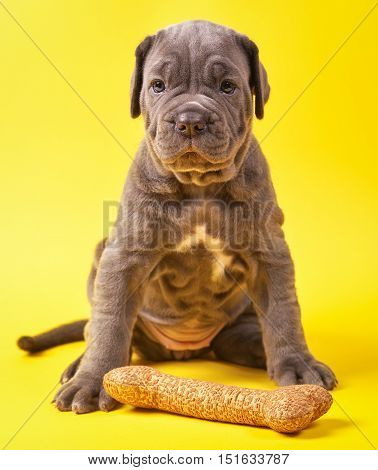 Beautiful young puppy italian mastiff cane corso (1 month) with toy bone on yellow background