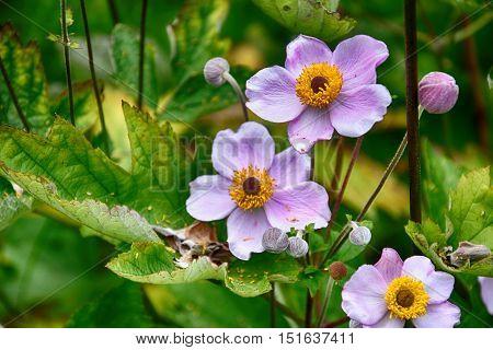 beautiful purple flowers in the garden nature