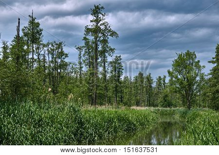 Reed on the bank of a small river in a forest in Poland