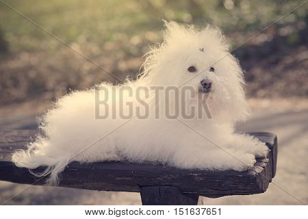 Bichon havanese dog on banch in the park. Vintage view