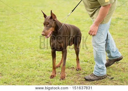 Brown Doberman pinscher with owner in park