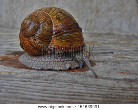 Snail, pest, shell, shellfish, snail crawling on wood.