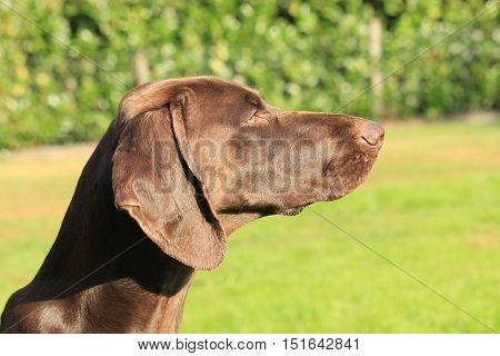 German Shorthaired Pointer female 13 months old