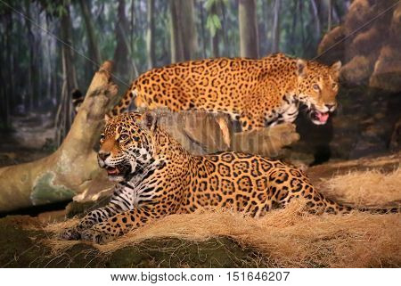 South African male and female leopards reclining and walking on rock ledge