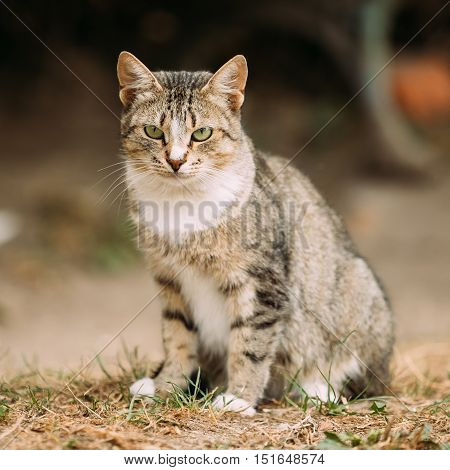 Gray And White Mixed Breed Short-Haired Domestic Young Cat, Sitting On The Yellow Grass
