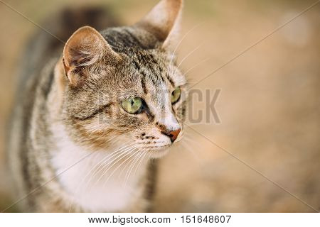 Close The Muzzle Of Gray And White Mixed Breed Short-Haired Domestic Young Cat With Green Eyes, Staring Away.