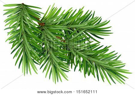 Green fluffy pine branch. Isolated on white background. Illustration in vector format