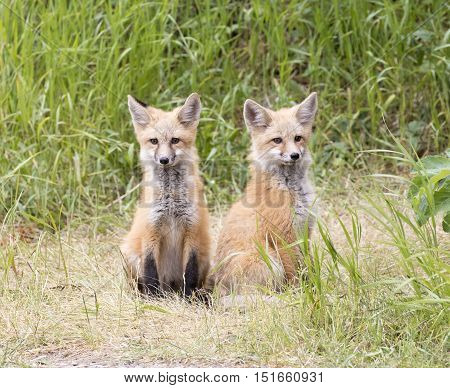 pair of fox kits looking in same direction expecting parent to return with dinner
