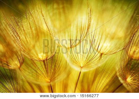 Soft Dandelion Flowers