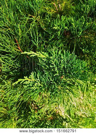 closeup shot of Chinese juniper or Juniperus chinensis