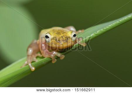 Philautus vittiger tree frog, adorable little tree frog