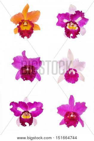 Six bright cattleya orchid flowers isolated