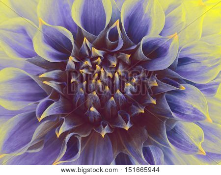 dark blue dahlia flower. Close-up. Macro. Nature. unusual flower.
