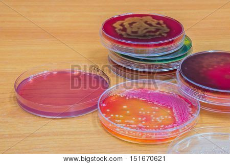Bacterial Culture Growth On Agar Plate.
