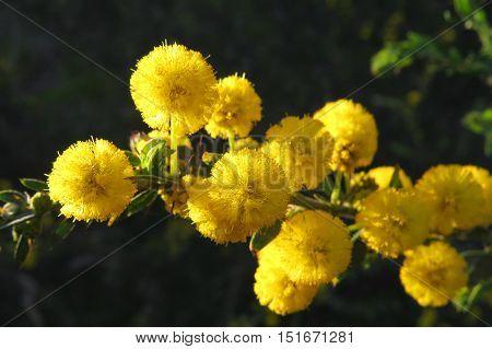 Yellow wattle mimosa acacia flower in the Australian bush.
