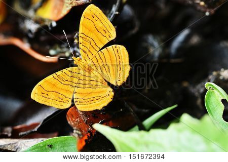 "Butterfly Name ""intermediate Maplet"""