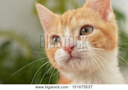 Beautiful orange Kitten Starring with selective focus
