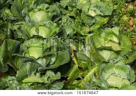 Rows Of Cabbage