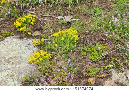 Goldmoss stonecrop and wild thyme on meadow