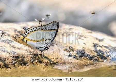 Shan Nawab Butterfly