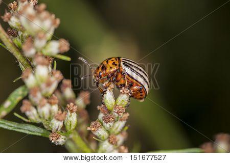 Colorado Beetle Climbs The Flower