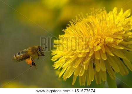 Bee On A Yellow Dandelion 7