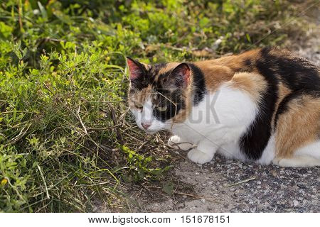 Three-color Cat Smelling The Grass