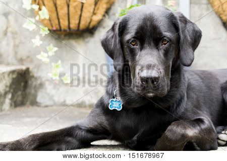 Labrador retrievers are known for their affections and tolerance.