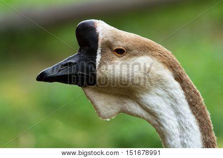 The Male Goose Cuban Cygnopsis Cygnoides