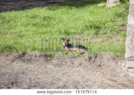 Dog Basking In The Sun, Politely Lying On The Grass