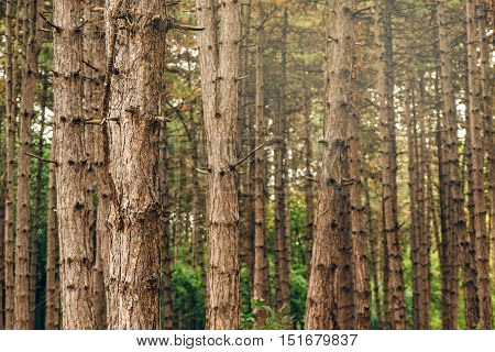 Pine tree forest in autumn october afternoon tall vertical woods as beautiful nature scenery background