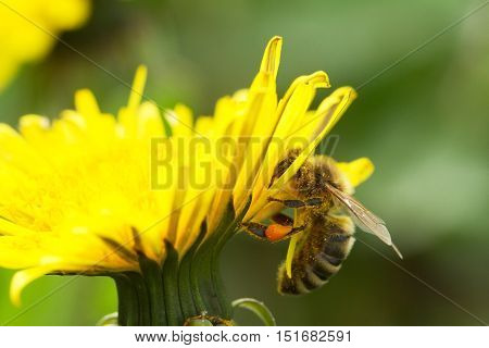 Bee On A Yellow Dandelion 2