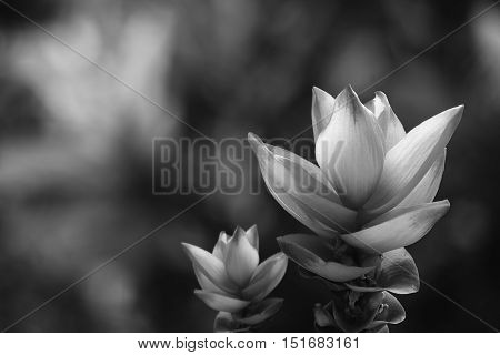 Siam tulip or Curcuma alismatifolia Gagnep. The flowers in Chaiyaphum province Thailand. Black and white with Low key.
